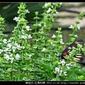 鱗翅目-紅肩粉蝶_15