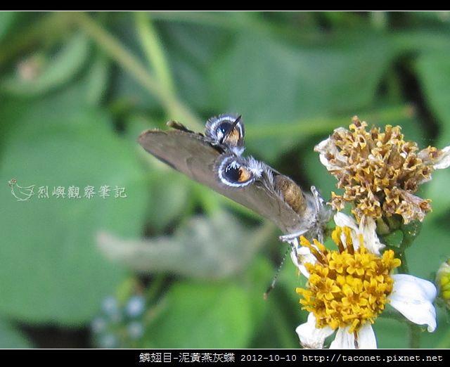 泥黃燕灰蝶_05