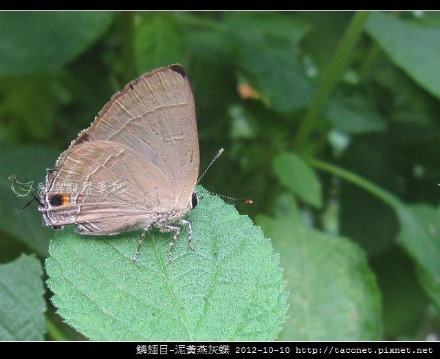 泥黃燕灰蝶_04