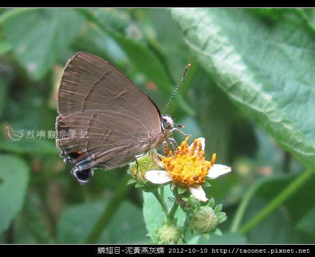 泥黃燕灰蝶_06
