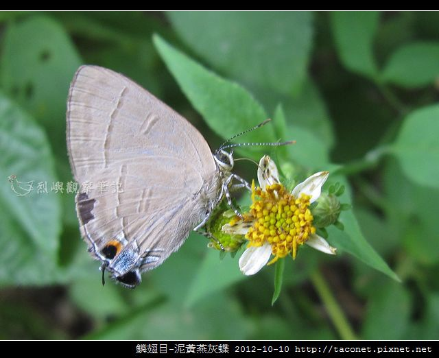 泥黃燕灰蝶_09