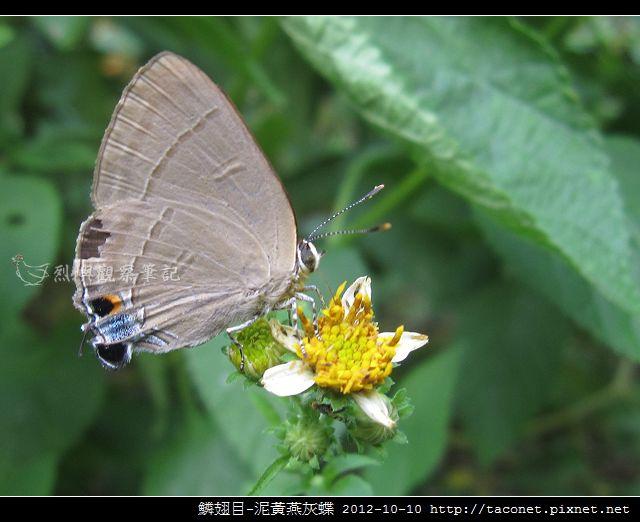 泥黃燕灰蝶_08