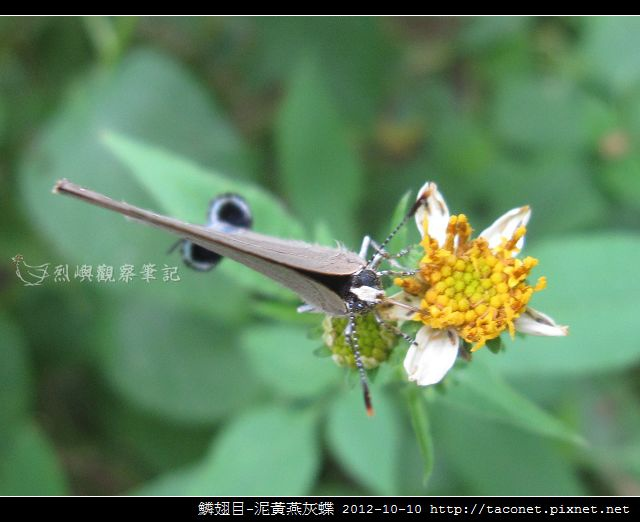 泥黃燕灰蝶_11