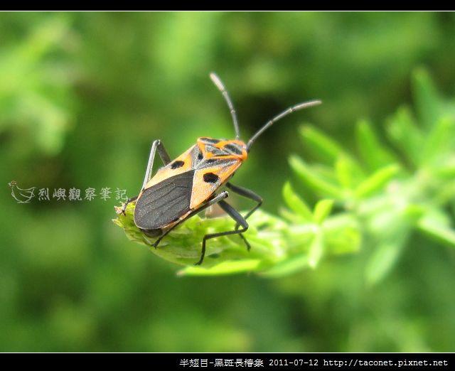 半翅目-黑斑長椿象_01