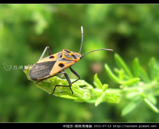 半翅目-黑斑長椿象_02