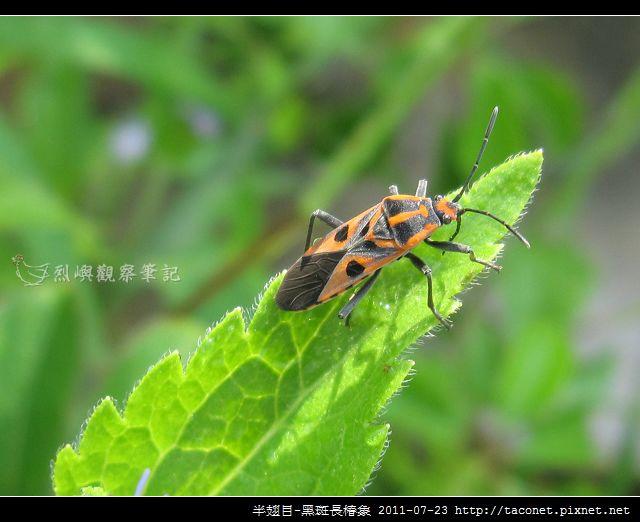 半翅目-黑斑長椿象_03