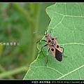 半翅目-黑斑長椿象_04