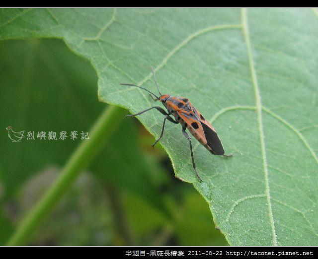 半翅目-黑斑長椿象_05