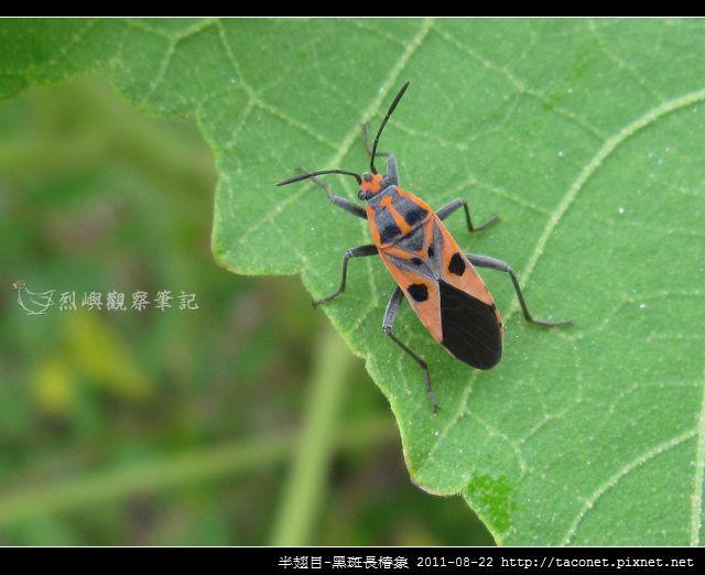 半翅目-黑斑長椿象_06