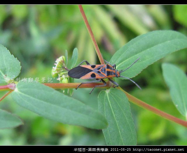 半翅目-黑斑長椿象_07