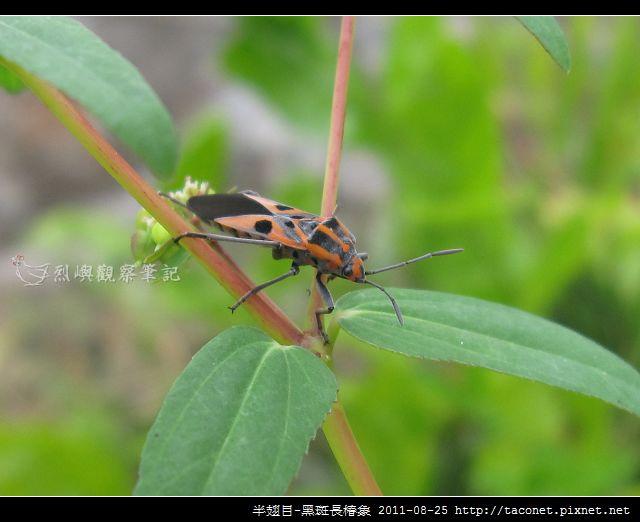 半翅目-黑斑長椿象_08