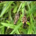 半翅目-黑斑長椿象_09