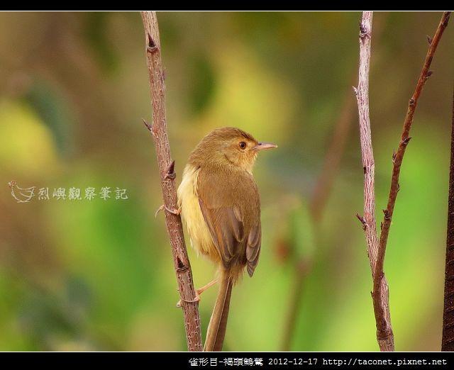 雀形目-褐頭鷦鶯_01