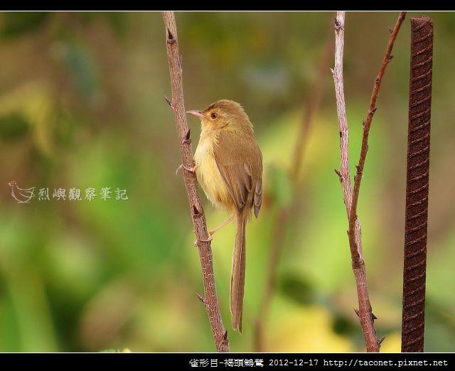 雀形目-褐頭鷦鶯_02