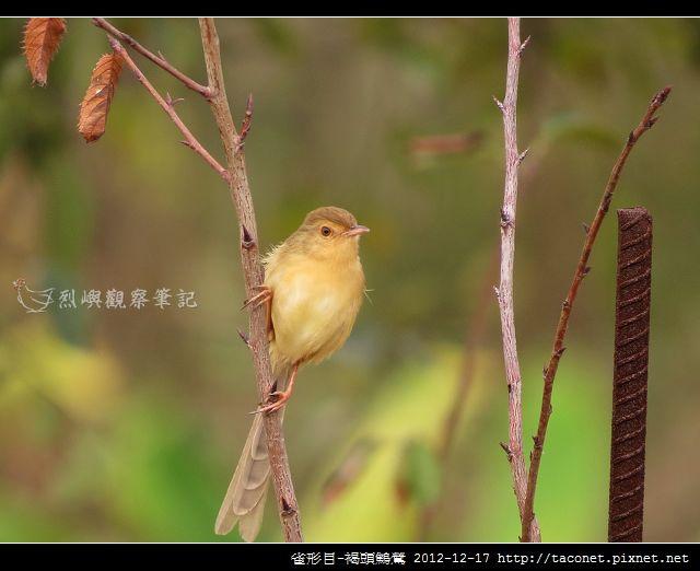 雀形目-褐頭鷦鶯_03