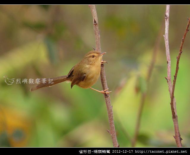 雀形目-褐頭鷦鶯_04
