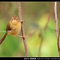 雀形目-褐頭鷦鶯_05