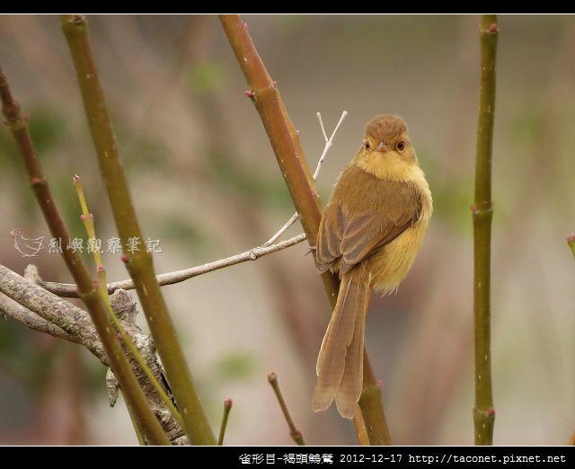 雀形目-褐頭鷦鶯_06
