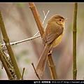 雀形目-褐頭鷦鶯_07