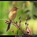 雀形目-褐頭鷦鶯_09