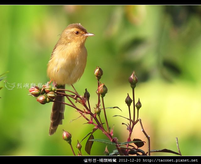 雀形目-褐頭鷦鶯_10