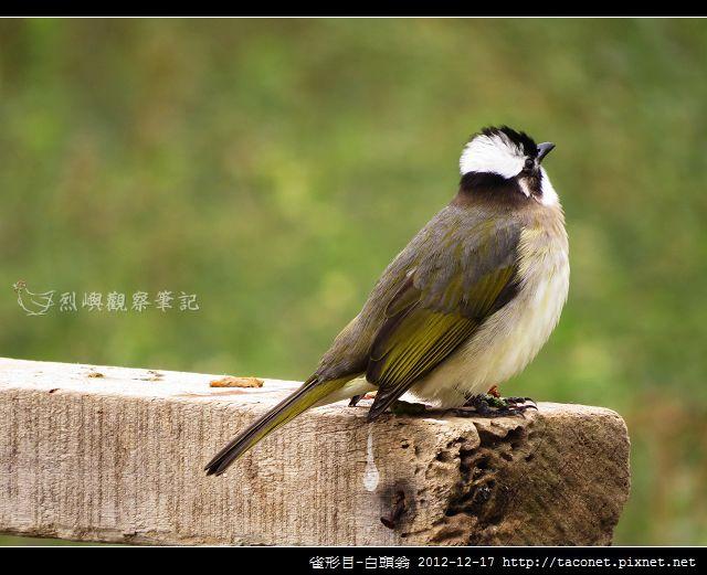 雀形目-白頭翁_01