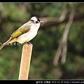 雀形目-白頭翁_05