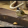 雀形目-白頭翁_08