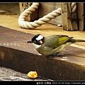 雀形目-白頭翁_07