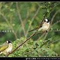 雀形目-白頭翁_12