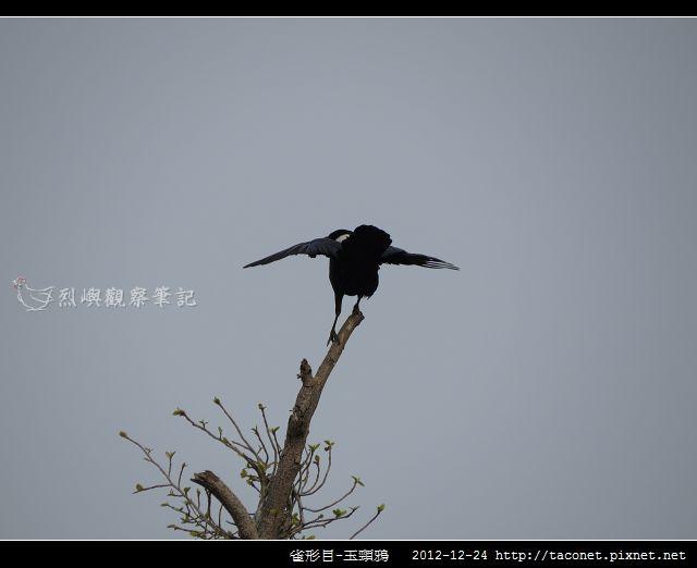 雀形目-玉頸鴉_08
