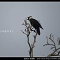 雀形目-玉頸鴉_09