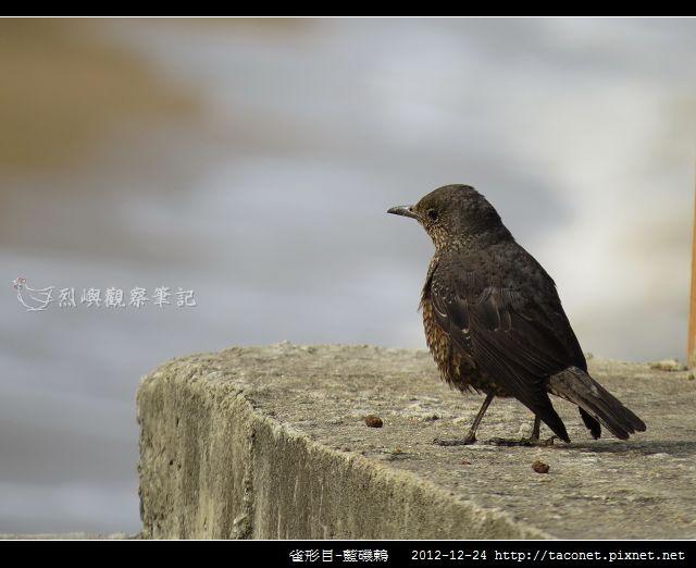 雀形目-藍磯鶇_06