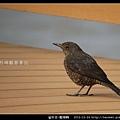 雀形目-藍磯鶇_08
