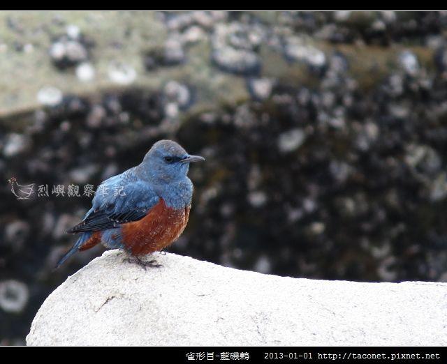 雀形目-藍磯鶇_10