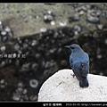 雀形目-藍磯鶇_11