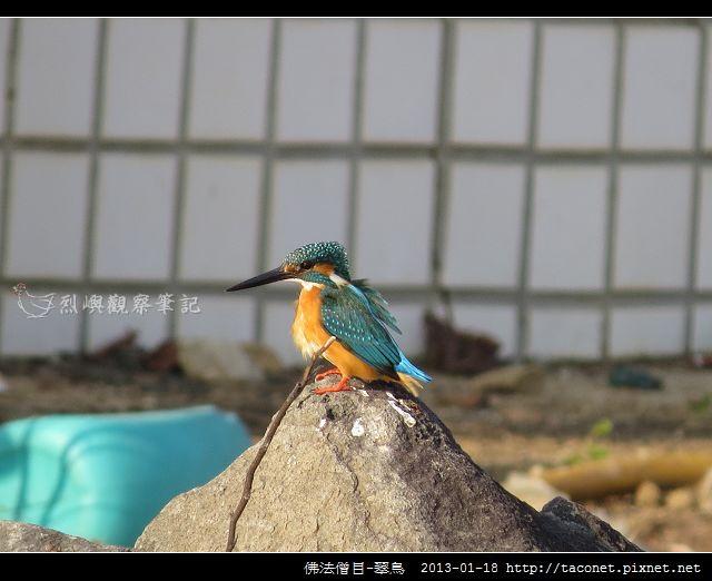 佛法僧目-翠鳥_11