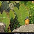 佛法僧目-翠鳥_15