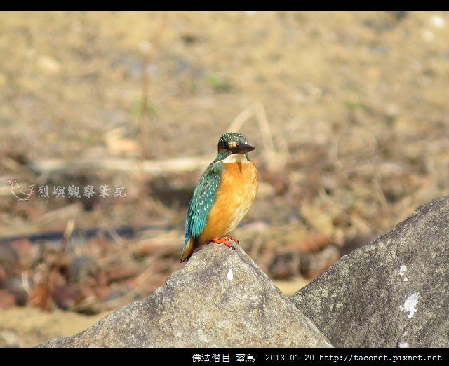 佛法僧目-翠鳥_18
