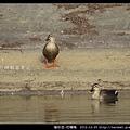 雁形目-花嘴鴨_07