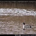 雁形目-尖尾鴨_03