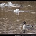 雁形目-尖尾鴨_05