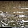 雁形目-尖尾鴨_07