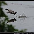雁形目-尖尾鴨_09