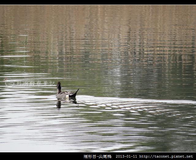 雁形目-尖尾鴨_11
