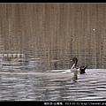 雁形目-尖尾鴨_12
