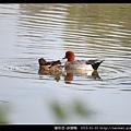雁形目-赤頸鴨_04