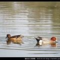 雁形目-赤頸鴨_06