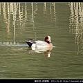雁形目-赤頸鴨_10