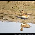 雁形目-赤頸鴨_11